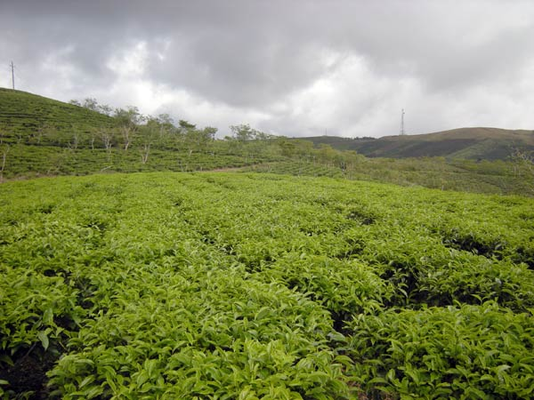 Nông dân Đà Lạt lao đao vì tồn đọng hàng trăm tấn trà - Ảnh 1