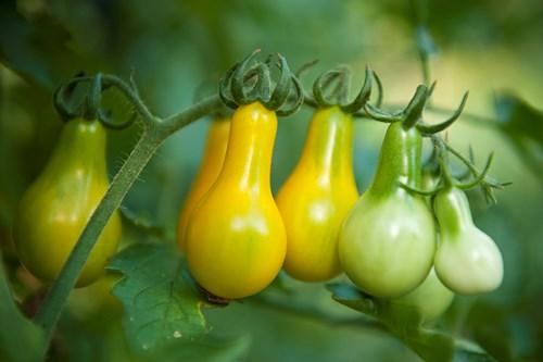 Cận cảnh giống cà chua lê khiến bà nội trợ mê mẩn - Ảnh 13