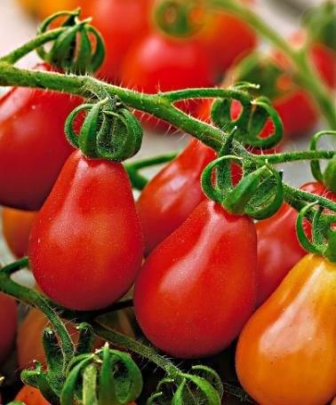 Cận cảnh giống cà chua lê khiến bà nội trợ mê mẩn - Ảnh 4