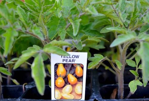 Cận cảnh giống cà chua lê khiến bà nội trợ mê mẩn - Ảnh 5