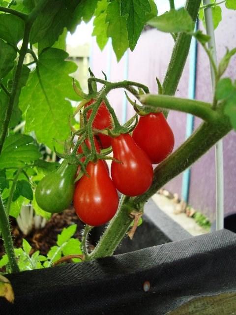 Cận cảnh giống cà chua lê khiến bà nội trợ mê mẩn - Ảnh 8