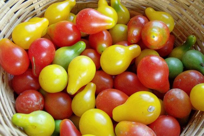 Cận cảnh giống cà chua lê khiến bà nội trợ mê mẩn - Ảnh 3