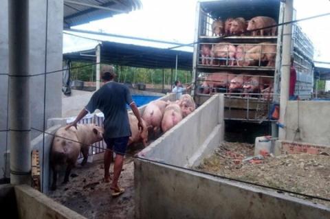 Thương lái Trung Quốc hãm mua lợn: Chiêu bài đã cũ, cảnh báo đã đưa - Ảnh 1