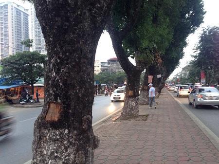 Đang điều tra vụ hàng loạt cây xà cừ bị lột vỏ trên đường Láng - Ảnh 1