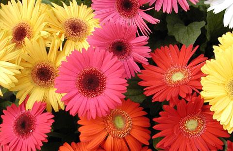 Ý nghĩa những loài hoa tặng mẹ nhân ngày Phụ nữ Việt Nam 20/10 - Ảnh 5