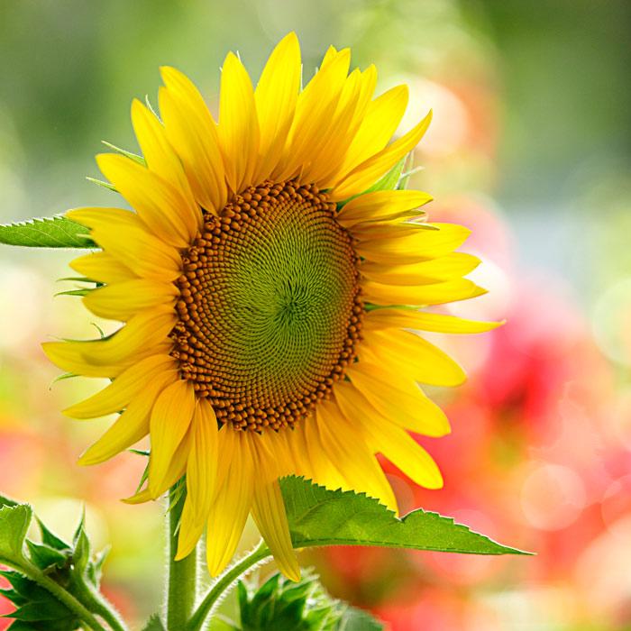 Ý nghĩa những loài hoa tặng mẹ nhân ngày Phụ nữ Việt Nam 20/10 - Ảnh 4
