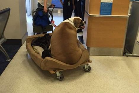 Chú chó béo ú nặng 74kg ngồi vé hạng nhất của American Airlines - Ảnh 1