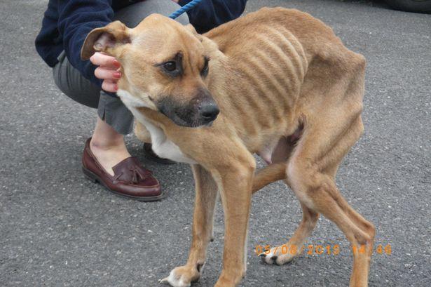 """Chú chó biến thành """"xác ướp"""" vì bị chủ tàn nhẫn bỏ đói - Ảnh 1"""