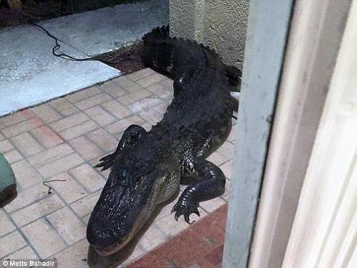 """Tá hỏa khi thấy cá sấu đập cửa """"đòi"""" vào nhà lúc nửa đêm - Ảnh 1"""