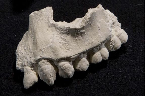 Phát hiện loài tổ tiên mới của con người - Ảnh 4