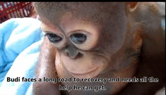 Rơi nước mắt cảnh chú khỉ vẫn sợ hãi sau khi được cứu sống - Ảnh 1
