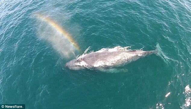 Cá voi khổng lồ phun nước tạo cầu vồng tuyệt sắc - Ảnh 1
