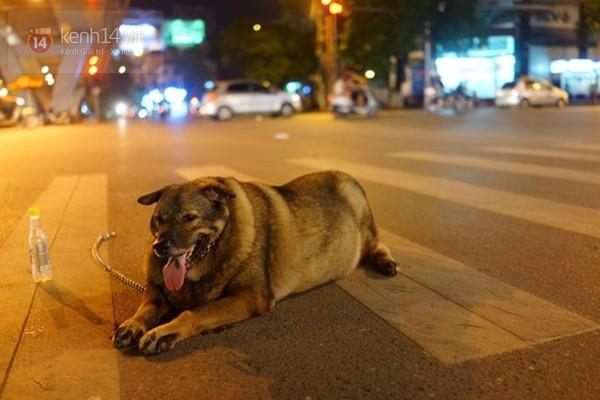 Chú chó béo nhất Hà Nội hàng ngày đi bộ để... giảm cân - Ảnh 3