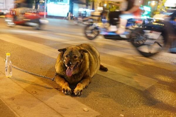 Chú chó béo nhất Hà Nội hàng ngày đi bộ để... giảm cân - Ảnh 7
