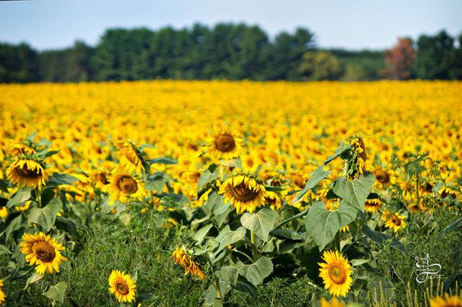 Tự tay trồng cả cánh đồng hoa hướng dương để tưởng nhớ vợ - Ảnh 5