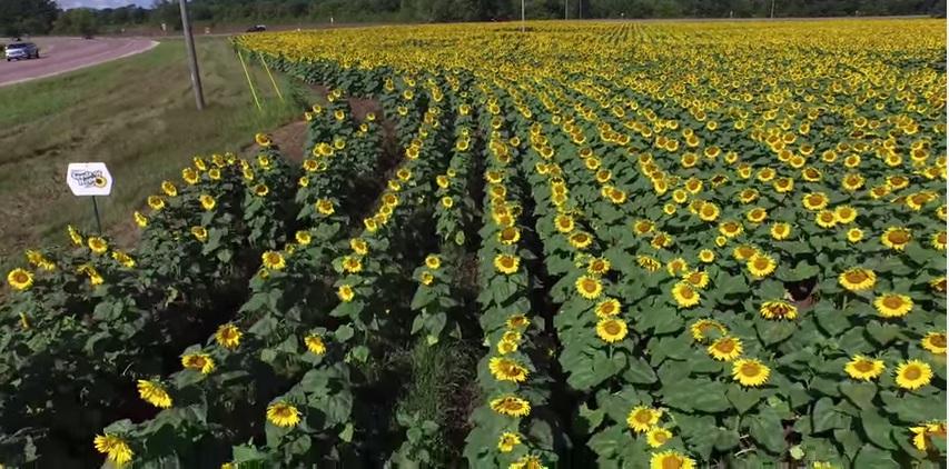 Tự tay trồng cả cánh đồng hoa hướng dương để tưởng nhớ vợ - Ảnh 3