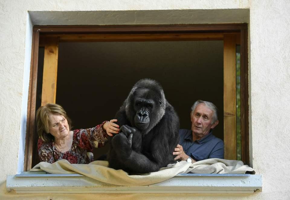 Cặp vợ chồng sống chung với khỉ đột suốt 18 năm - Ảnh 2