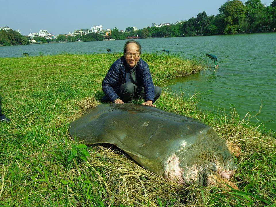 Sự thực tin đồn cụ rùa Hồ Gươm qua đời - Ảnh 1