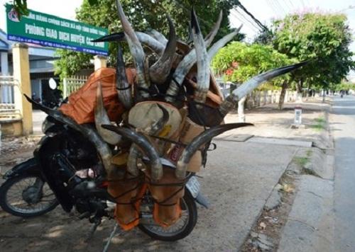 """Sừng linh dương """"lộng hành"""" trên phố tại Đồng bằng sông Cửu Long - Ảnh 2"""
