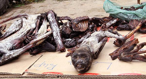Lâm Đồng: Liên tiếp phát hiện voọc chà vá chân đen bị giết hại  - Ảnh 2