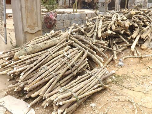 Thương lái Trung Quốc ồ ạt thu mua cây ba chạc tại Thanh Hóa - Ảnh 2