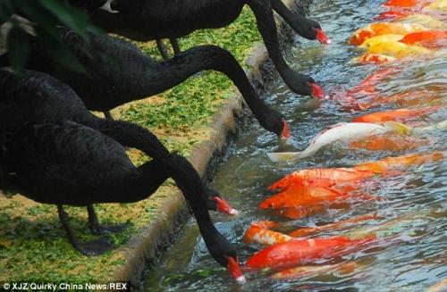 Sự thật 'bảo mẫu' thiên nga đen mớm mồi cho 'đàn con' cá chép - Ảnh 1