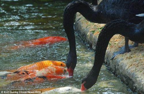 Sự thật 'bảo mẫu' thiên nga đen mớm mồi cho 'đàn con' cá chép - Ảnh 2