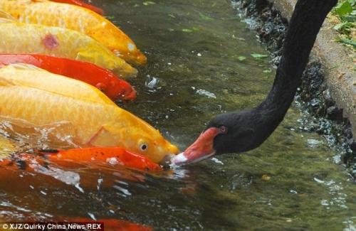 Sự thật 'bảo mẫu' thiên nga đen mớm mồi cho 'đàn con' cá chép - Ảnh 4