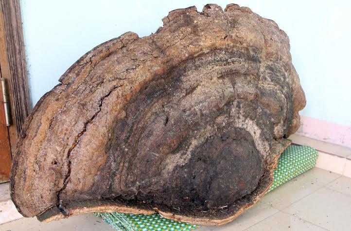 Nghệ An: Dân đổ xô đi xem nấm linh chi nặng 50kg - Ảnh 2