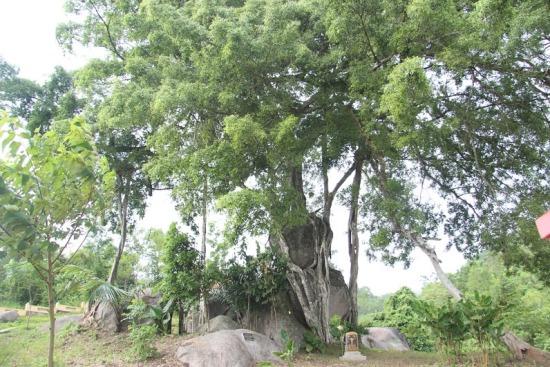 """Ngắm cây sanh có thế """"Độc nhất, vô nhị"""" ở Nghệ An - Ảnh 2"""