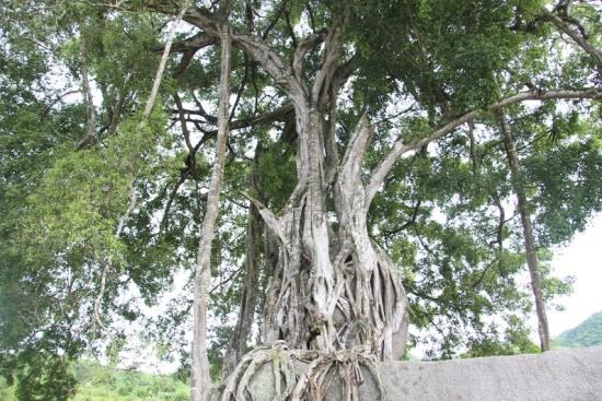 """Ngắm cây sanh có thế """"Độc nhất, vô nhị"""" ở Nghệ An - Ảnh 4"""