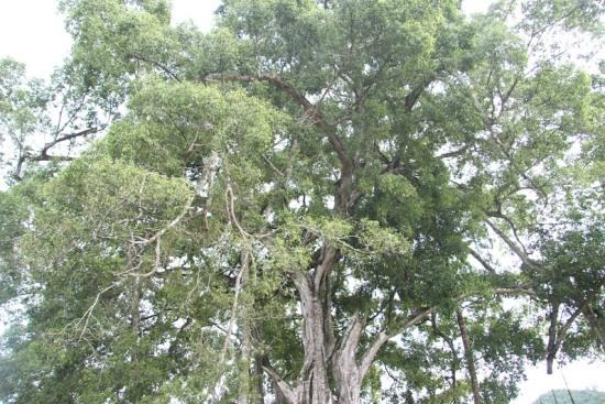 """Ngắm cây sanh có thế """"Độc nhất, vô nhị"""" ở Nghệ An - Ảnh 5"""