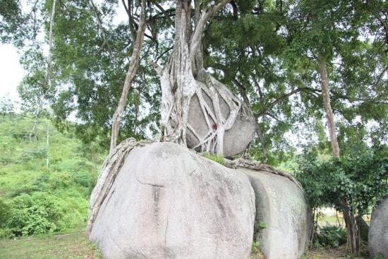 """Ngắm cây sanh có thế """"Độc nhất, vô nhị"""" ở Nghệ An - Ảnh 6"""