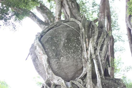 """Ngắm cây sanh có thế """"Độc nhất, vô nhị"""" ở Nghệ An - Ảnh 7"""