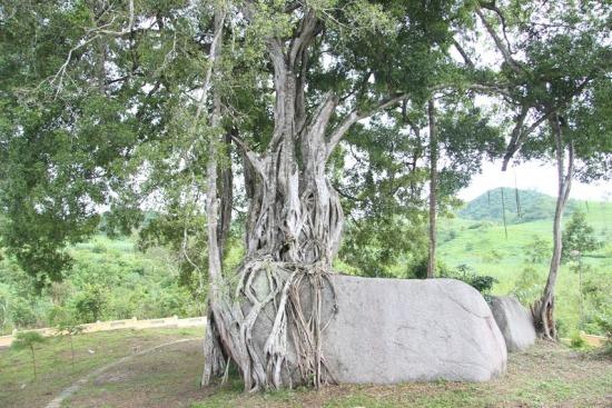 """Ngắm cây sanh có thế """"Độc nhất, vô nhị"""" ở Nghệ An - Ảnh 8"""