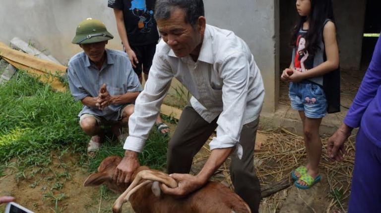 Kỳ lạ bê mới sinh có 7 chân ở Nghệ An - Ảnh 2