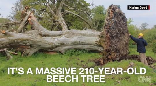 Cây trăm tuổi bật gốc, phát hiện hài cốt 1.000 năm  - Ảnh 1