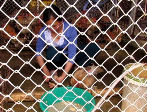 Video: Tiểu thương nhét bột cho gà tăng cân trước khi bán - Ảnh 1