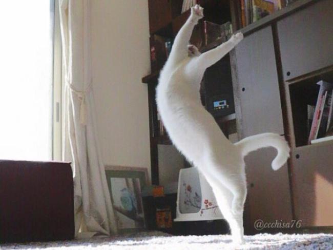 """Bất ngờ hình ảnh chú mèo duyên dáng nhất thể giới """"biểu diễn"""" ballet - Ảnh 7"""