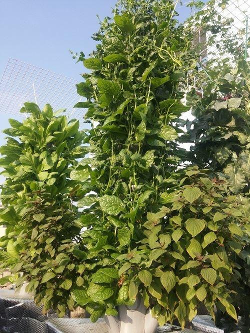 Ông bố Sài thành trồng rau sạch kiểu mới - vừa nhiều mà chẳng tốn diện tích - Ảnh 1