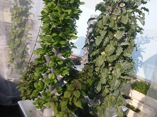 Ông bố Sài thành trồng rau sạch kiểu mới - vừa nhiều mà chẳng tốn diện tích - Ảnh 2