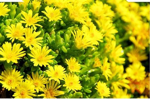Những loài hoa 'gọi' mùa thu về - Ảnh 3