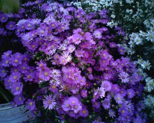 Những loài hoa 'gọi' mùa thu về - Ảnh 8