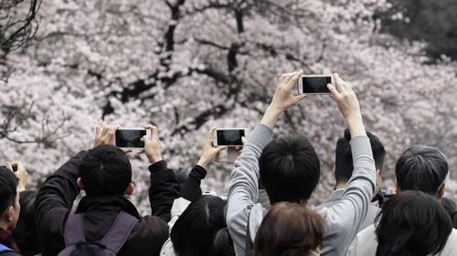 Mặt trái ảm đạm của mùa hoa anh đào rực rỡ ở Nhật Bản - Ảnh 1