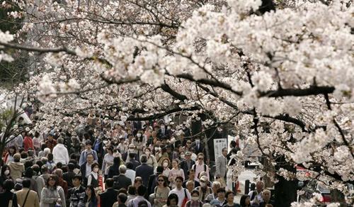 Mặt trái ảm đạm của mùa hoa anh đào rực rỡ ở Nhật Bản - Ảnh 3