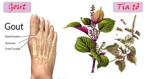 Bí quyết từ lá tía tô giúp chữa bệnh gout, giảm béo và làm đẹp da - Ảnh 1