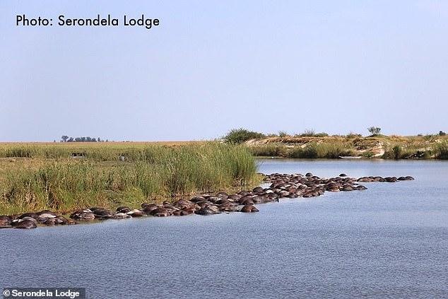 Hé lộ lý do khiến hơn 400 con trâu rừng chết đuối, nổi đen trên mặt sông - Ảnh 1
