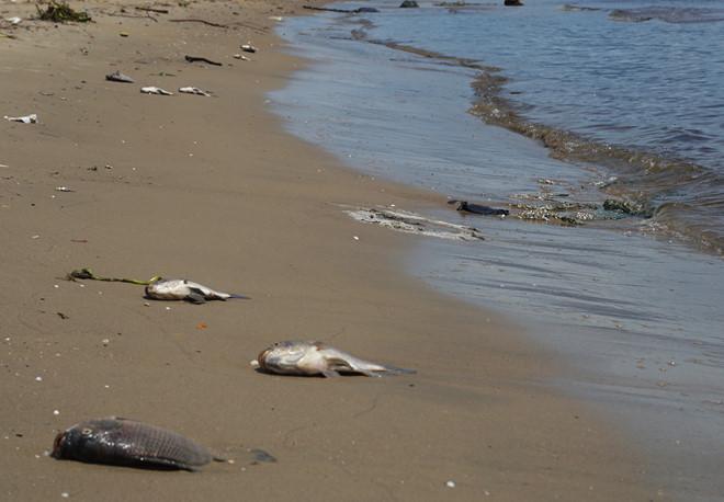 Xác định nguyên nhân khiến cá chết trắng sông ở Đà Nẵng - Ảnh 1