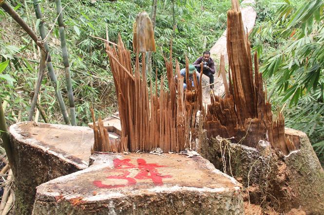 Quảng Nam: Truy nã hai nghi can phá rừng lim cổ thụ - Ảnh 1