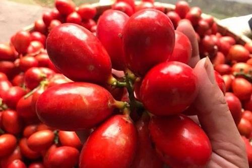 Quả máu, đặc sản trái cây rừng kì lạ của Quảng Ninh - Ảnh 1